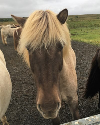 Horseback Riding at Laxnes, Iceland